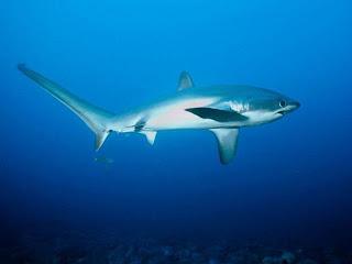 tiburón zorro