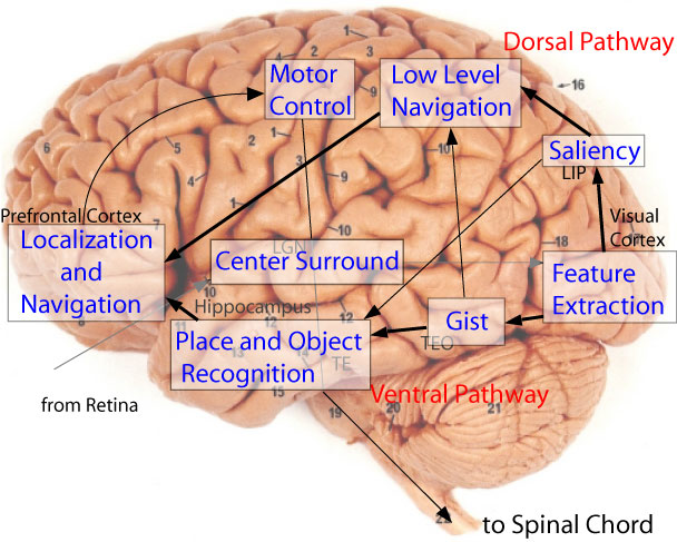 Human Brain Diagram Labeled Diagram Human Brain
