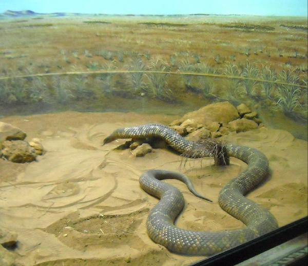 anaconda snake wallpaper different family type of snake