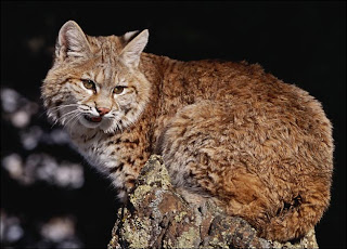 Bobcat (Picture)