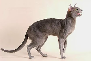 Oriental Shorthair (Picture)