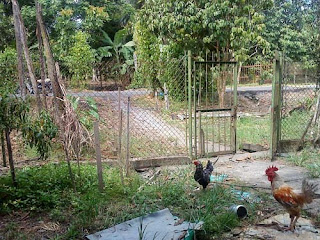 Chickens (photograph)