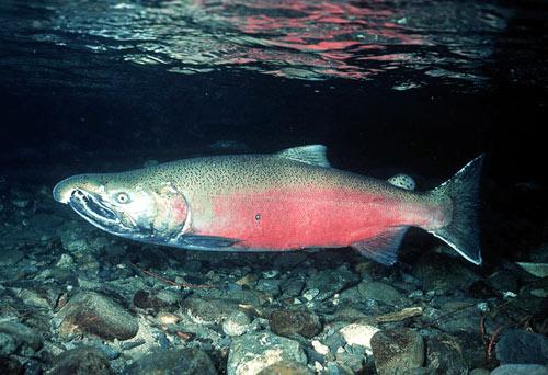 http://1.bp.blogspot.com/_fq4n3AtVSd4/TIXJQlvPPaI/AAAAAAAAAUY/SFVPmoswnaU/s1600/salmon.jpg