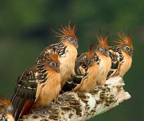 http://1.bp.blogspot.com/_fq4n3AtVSd4/TJLDyru2z8I/AAAAAAAAAWI/AVwRypCILIA/s1600/kapawi+bird+family.jpg