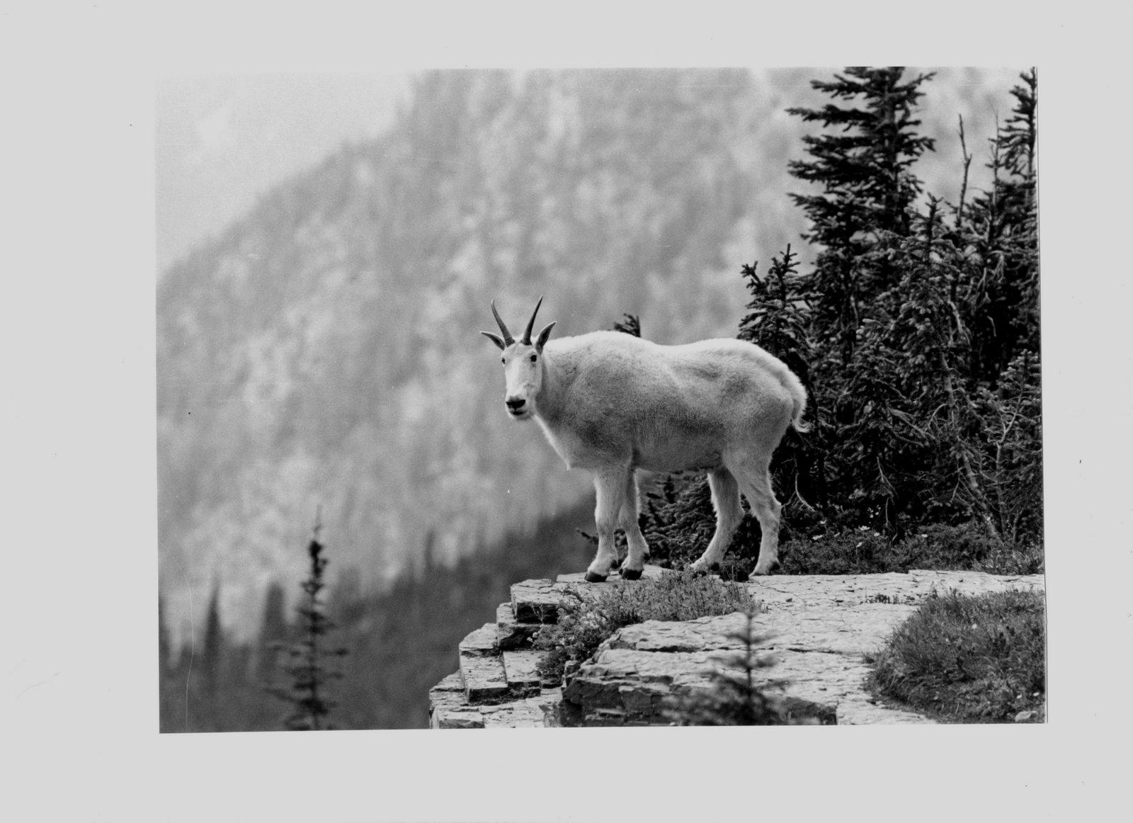[Glacier+goat.jpg]