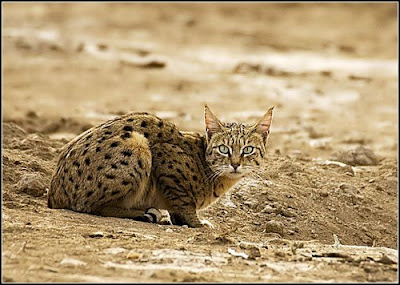 Desert+cat.jpg