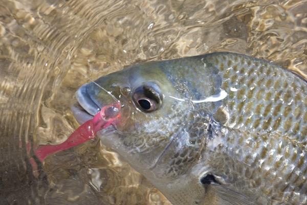 Soft plastic lures for bream for Bream fishing bait