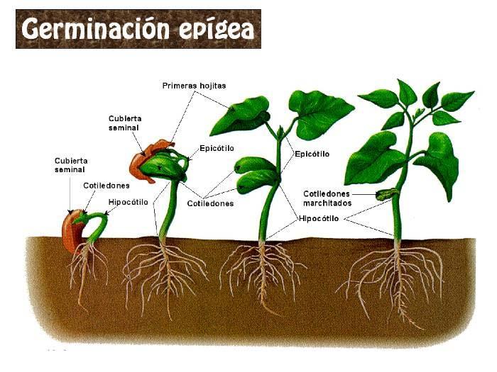 Artículo: Todo sobre la semilla GerminacionTHYRTHY