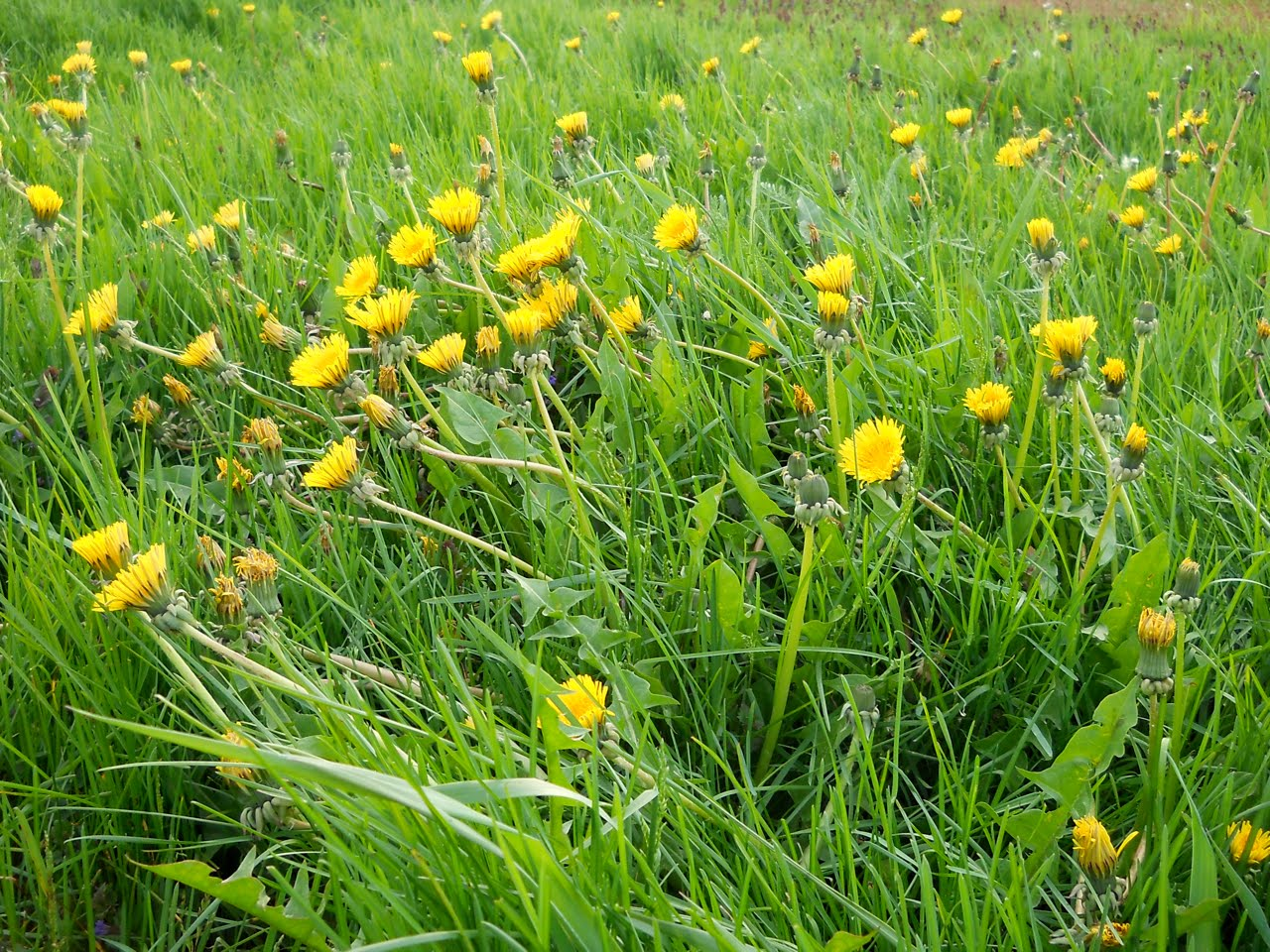 Canoe corner my so called lawn dandelions i know most of you probably consider this your number one hated weed but i like their bright yellow flowers and they taste good mightylinksfo
