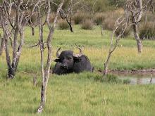 Indian Water Buffalo