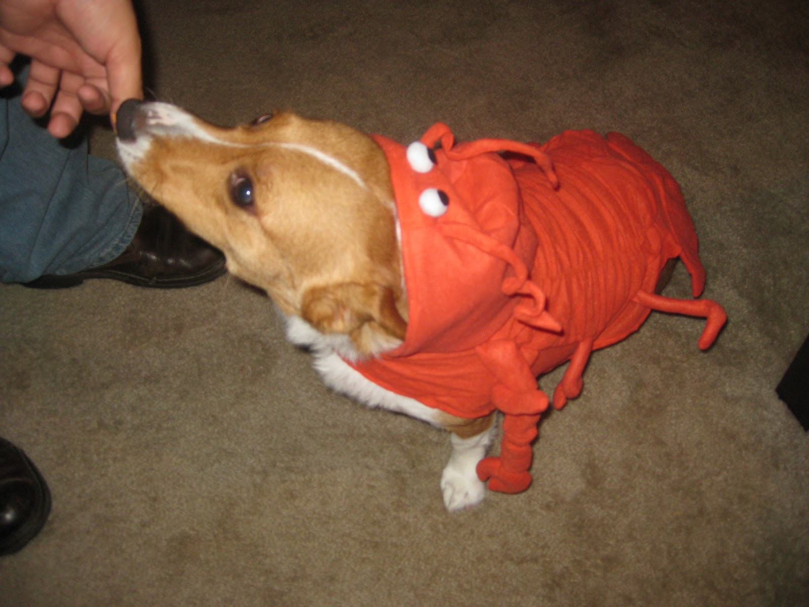 Corgi Lobster Costume