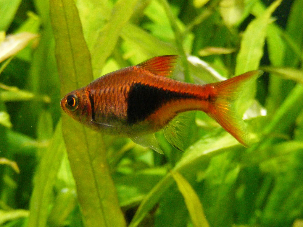 Small aquarium fish species for Small tropical fish