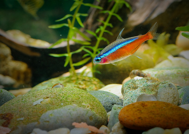 Ornamental fish names types of ornamental fish 2017 for Ornamental fish