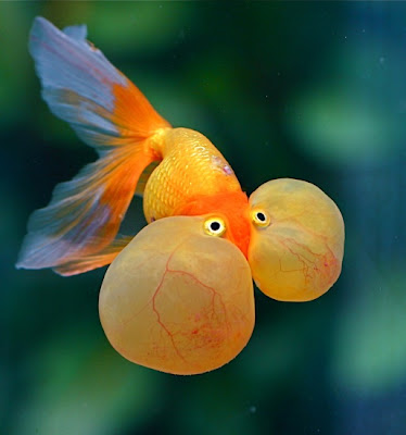 Popular Goldfish Types and Pictures | Exotic Tropical ...