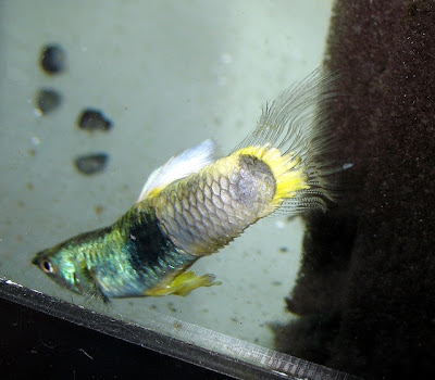 Common guppy fish diseases pictures exotic tropical for Cotton wool disease in fish