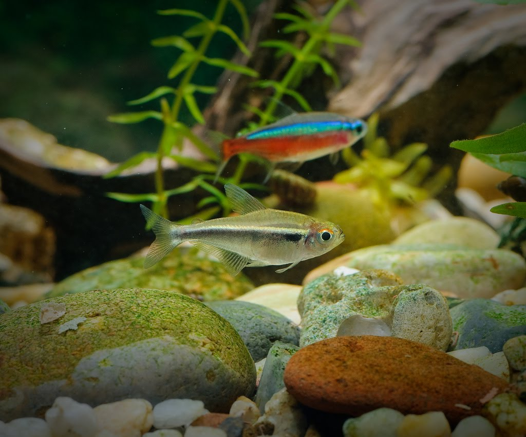 Black neon tetra pictures exotic tropical ornamental for Tetra fish tank
