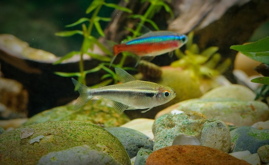 Freshwater Tropical Fish Tetras Aquascape Aquarium