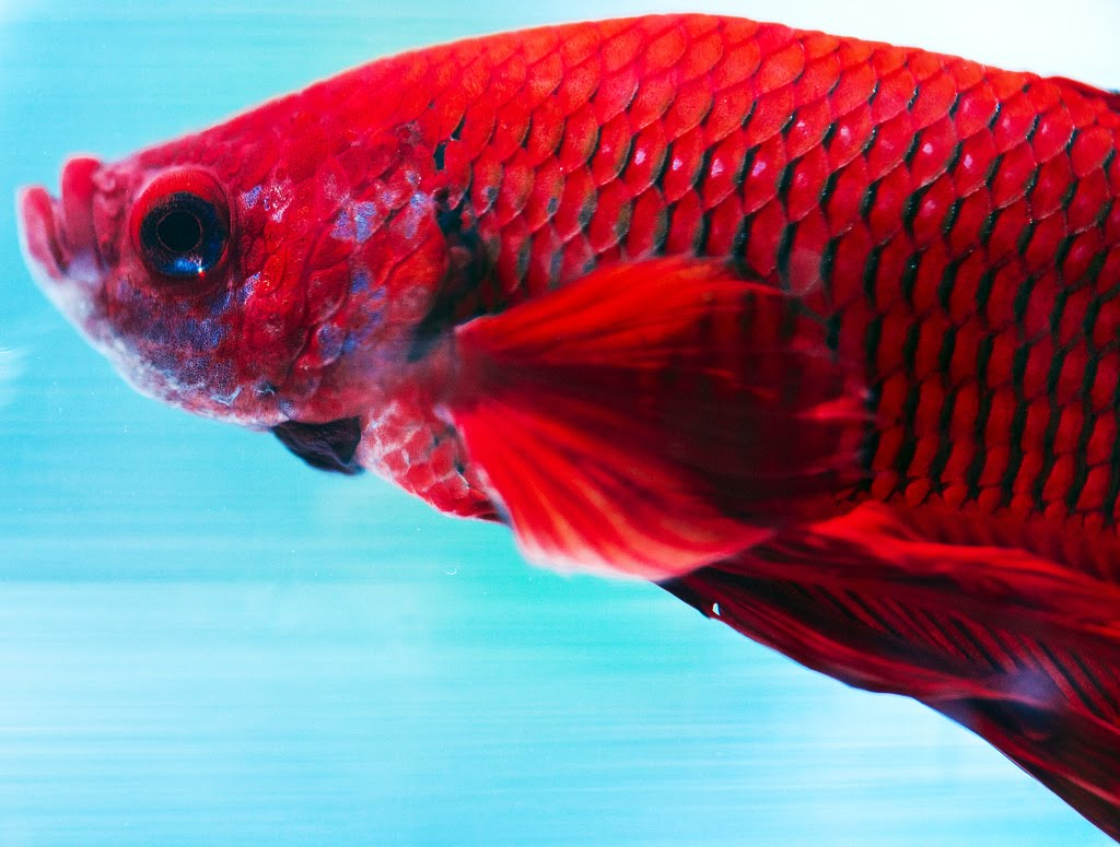 Male Betta Splendens | Exotic Tropical Ornamental Fish Photos With ...