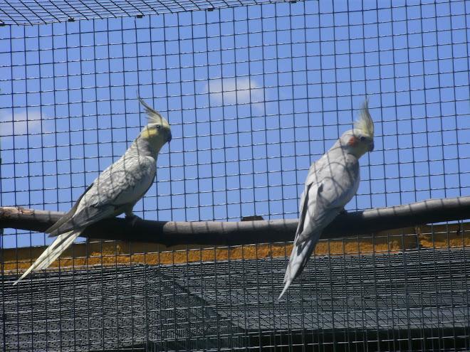 Catura mutação Bochecha Amarelo (esquerda)