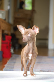 mon chihuahua Minnie