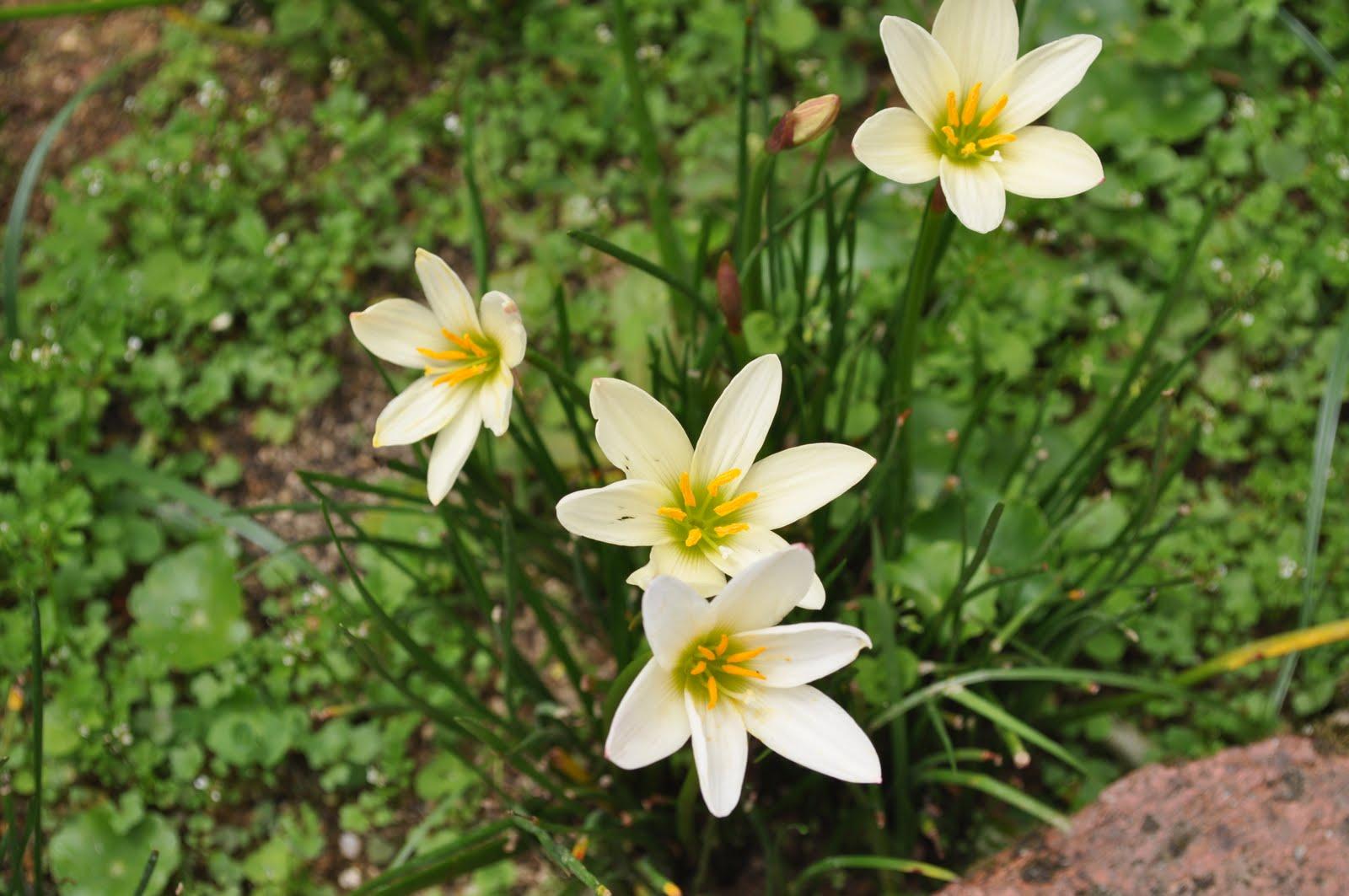 Flowers Of Malaysia Rain Lily