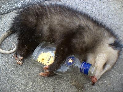 Gambá bêbado.