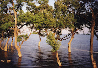 Trees in the tidal zone