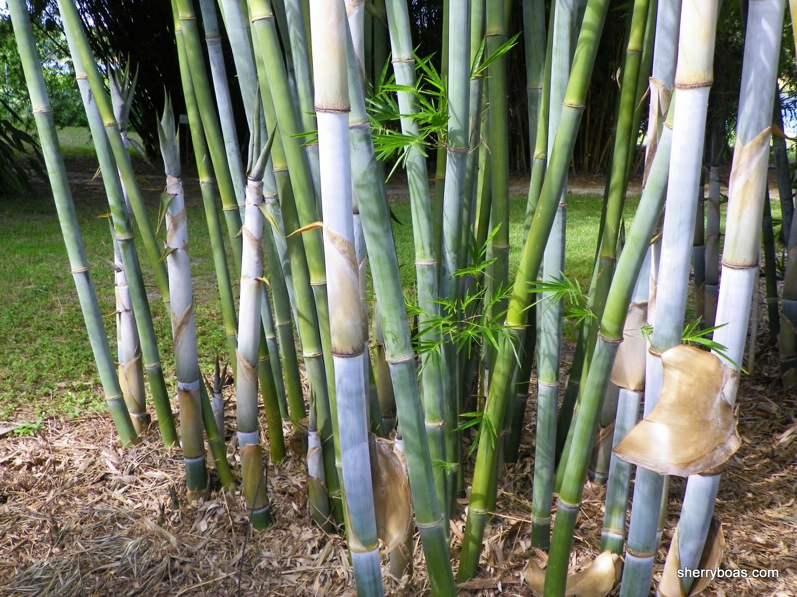 Beautiful Bamboo: Blue Timber Bamboo
