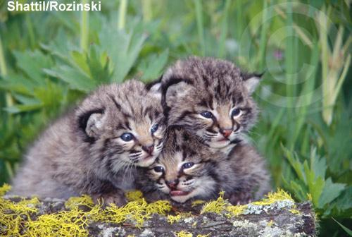 Cute baby bobcat - photo#13