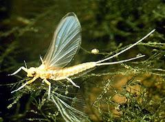 Paleoptera