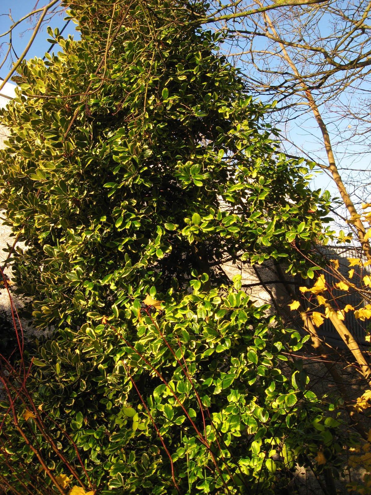 dublin flora ilex x altaclerensis 39 golden king 39. Black Bedroom Furniture Sets. Home Design Ideas
