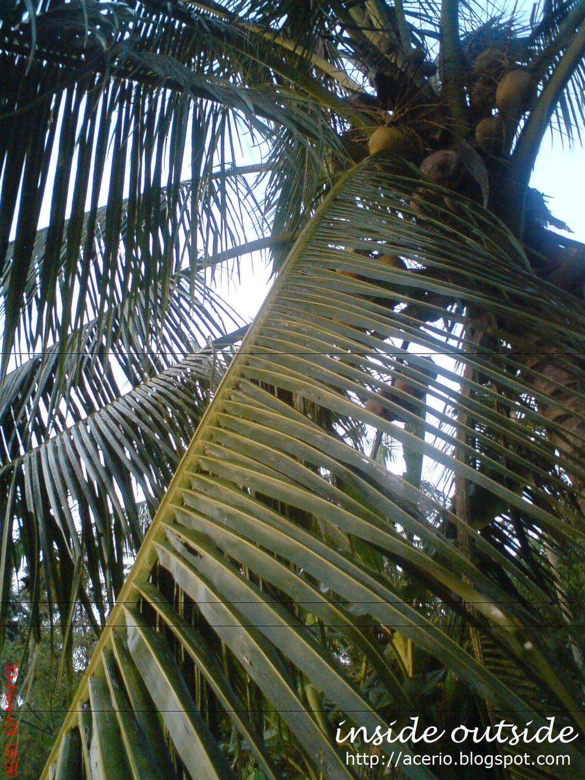 Apa yang boleh dibuat dengan daun pokok kelapa ni??