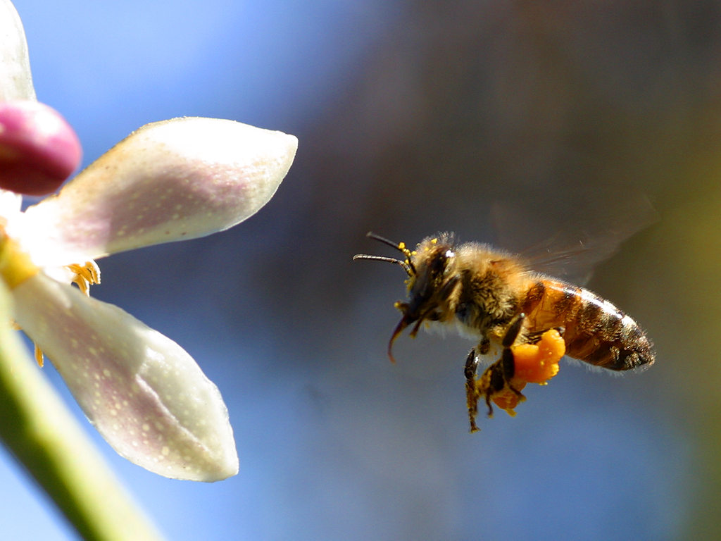 Honey Bees Wallpaper