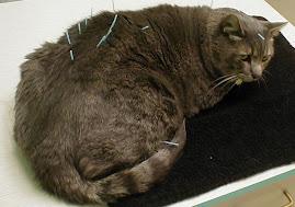 Acupunctura em animais domésticos: GATO