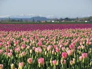 tulips+april+20+008.jpg