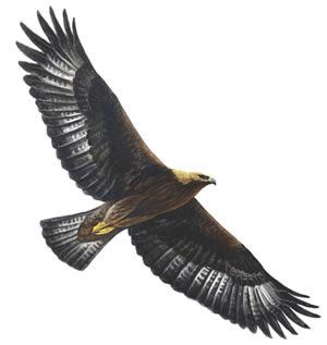 Hunter's Protagonists And Antagonists Golden+eagle