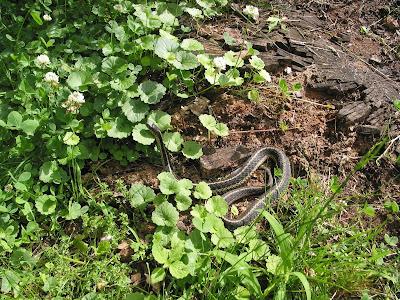 Spicebush Log: Garter Snakes