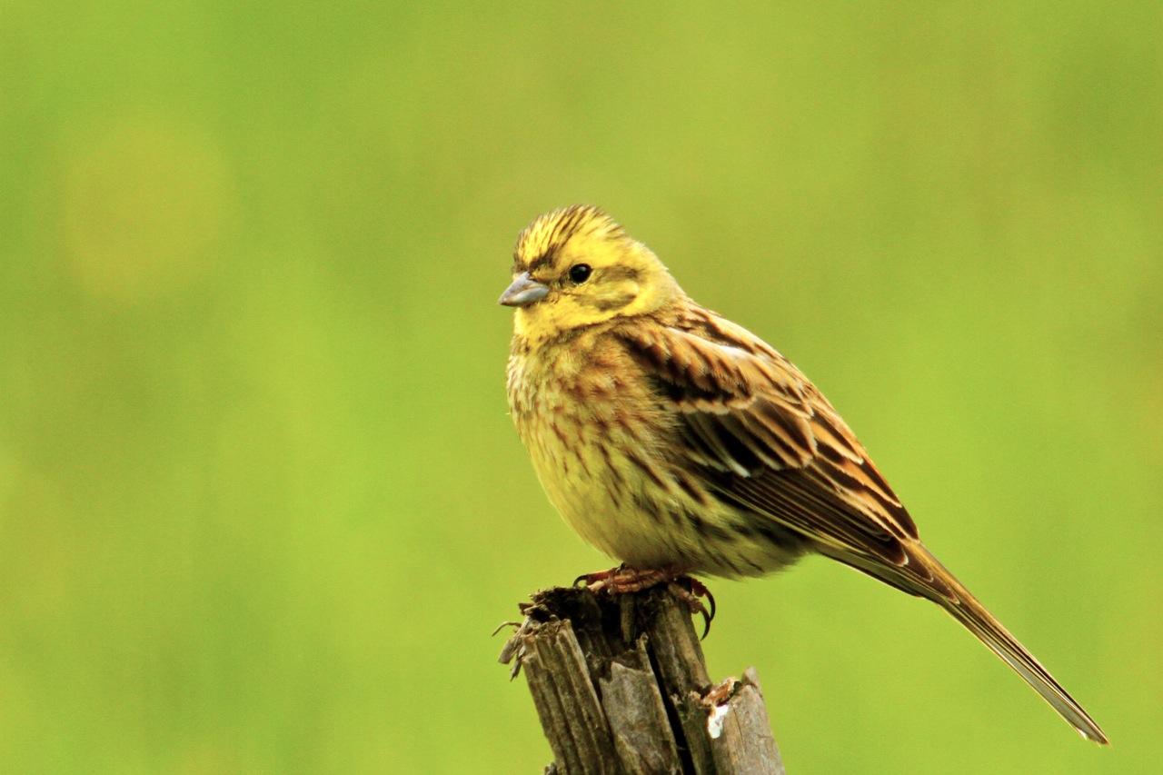 All about the Yellowhammer GardenBird