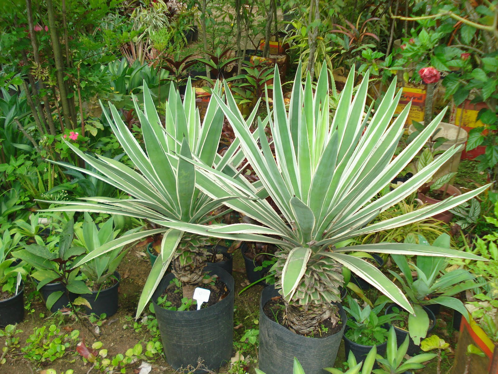 plantas e jardins ornamentais:Postado por Plantas Ornamentais e Manutenção de Jardins às 3.6.10