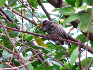 pica-pauzinho-anão-barrado