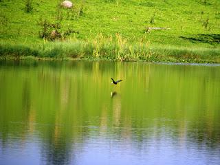 Frango-d'água-comum