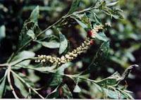 Porangaba, Cordia eucalyculata
