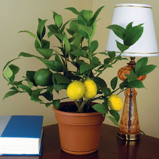 lemon lime tree and gardening tips how to grow a lime lemon tree in a pot. Black Bedroom Furniture Sets. Home Design Ideas