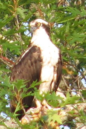 Osprey in Cushing Maine