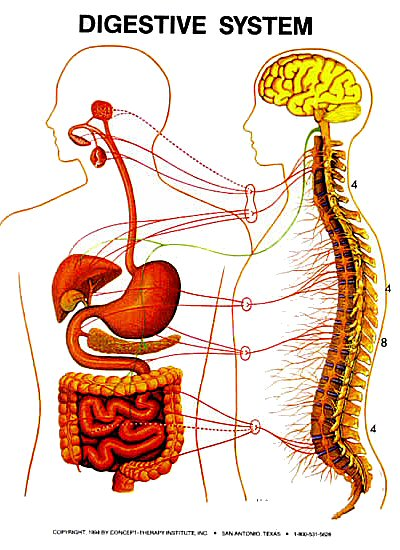 Blogs Digestive System Pictures Of The Digestive System