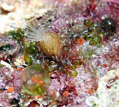 Sponges/Sponzen - Sycon raphanus