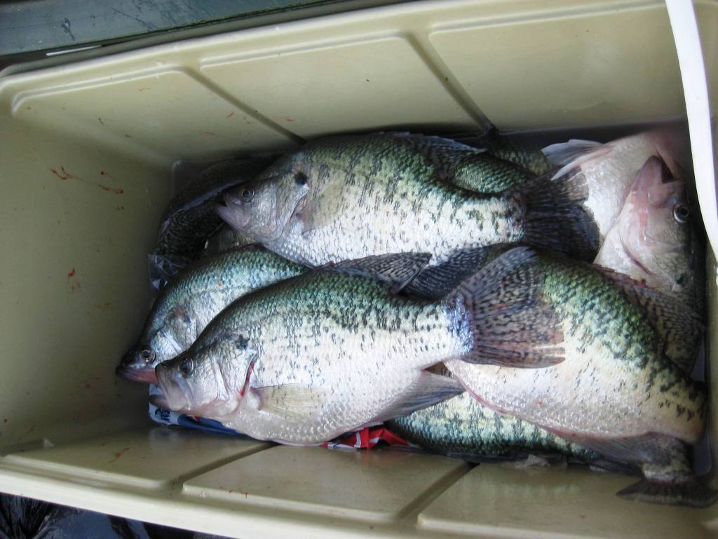 White perch fish for White perch fish