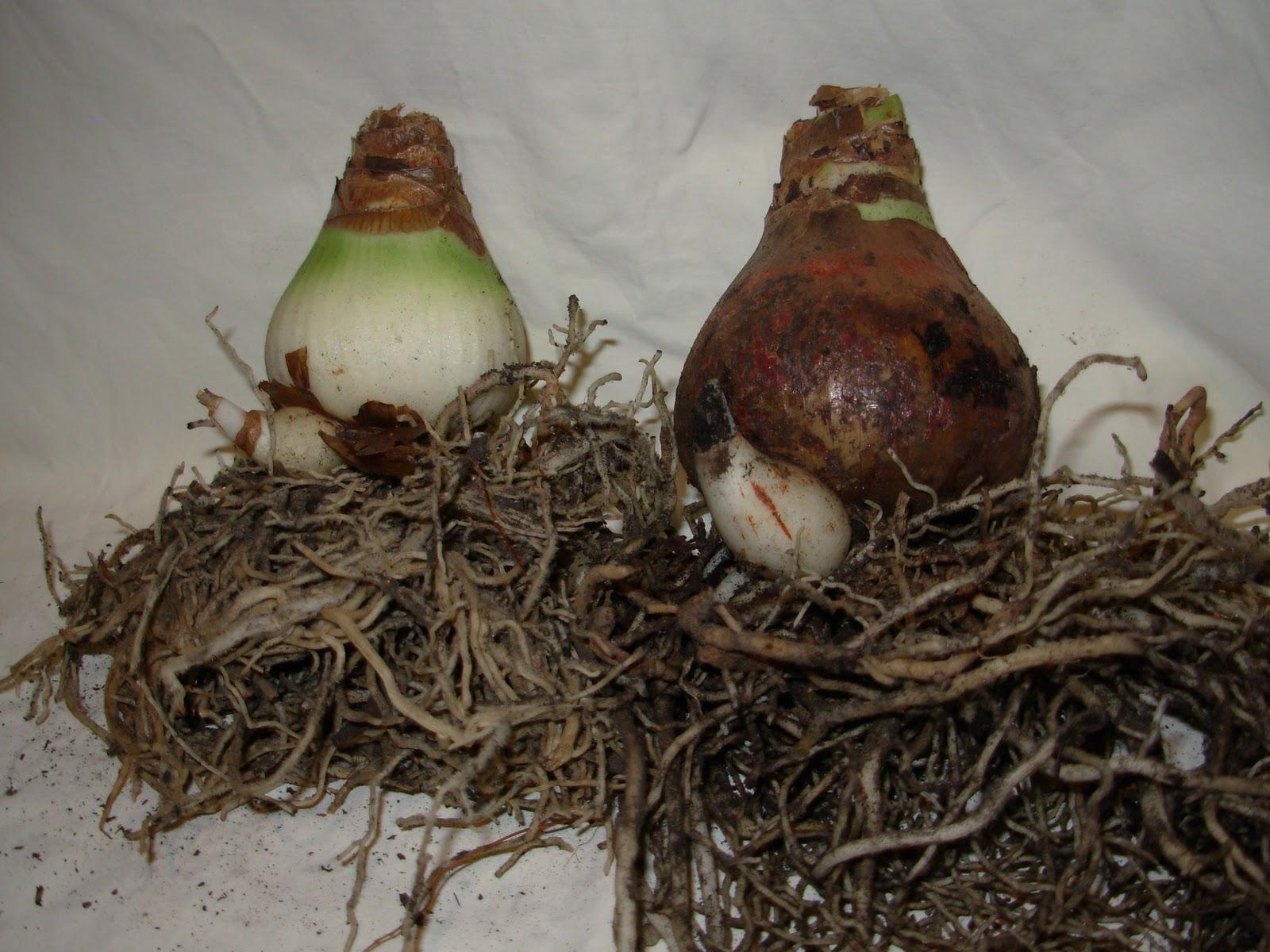 Dirt under my fingernails repotting amaryllis bulbs for Bulbes amaryllis conservation