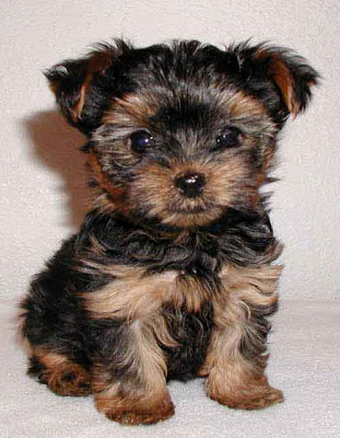 Yorkshire Terrier in America