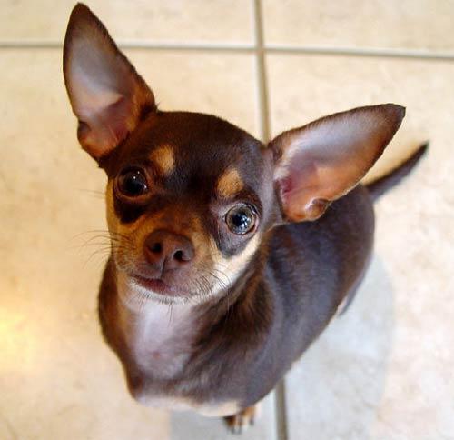 Brown Chihuahua Dog